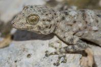 Ptyodactylus guttatus, Khirbet Tsura