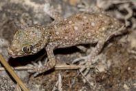 Stenodactylus sthenodactylus, Holon