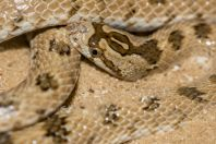 Lytorhynchus diadema, Holon