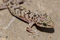 Hemidactylus turcicus, Holon