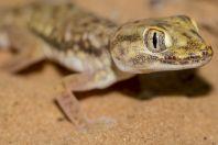 Stenodactylus petrii, Be'er Milka