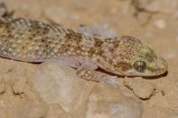 Hemidactylus sp., Nicana
