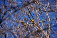 Ploceus velatus, Southern Masked Weaver