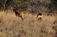 Impala - Aepyceros melampus, Mokolodi
