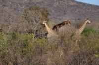 Giraffa camelopardalis v Mokolodi