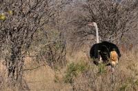 Struthio camelus v Mokolodi