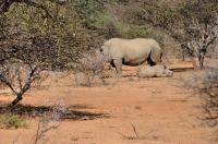 Nosorožec Ceratotherium simum v Mokolodi
