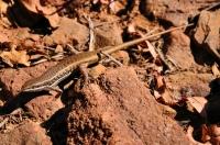 Trachylepis varia v Botswaně