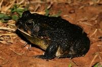 Amietophrynus cf. gutturalis
