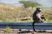 Papio ursinus, Drakensberg