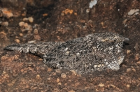 Caprimulgus tristigma, Royal Natal NP