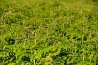 Ferns, Royal Natal NP
