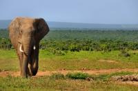 Loxodonta africana, Addo NP