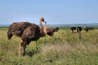 Struthio camelus, Addo