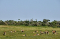 Taurotragus oryx, Addo NP