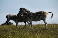 Equus quagga burchellii, Addo
