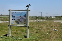 Corvus albicollis, Port Elizabeth