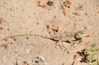 Agama sp., Port Elizabeth