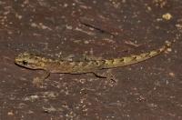 Afrogecko porphyreus, Tsitsikamma NP