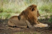 Panthera leo, Plattenberg Bay Reserve