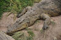 Crocodylus niloticus, Plattenberg Bay Reserve