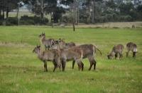 Kobus ellipsiprymnus, Plattenberg Bay Reserve