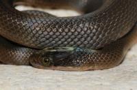 Lycodonomorphus sp., Swellendam