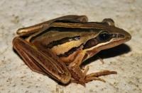 Strongylopus fasciatus, Swellendam