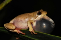 Hyperolius sp., Swellendam