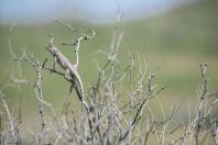Trapelus sanguinolentus, Bazoy
