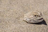 Phrynocephalus mystaceus, Zpívající duny, NP Altyn Emel