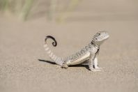 Phrynocephalus mystaceus, Singing dunes, Altyn Emel National Park