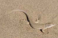 Eremias grammica, Singing dunes, Altyn Emel National Park