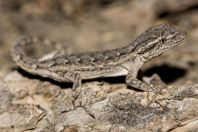 Mediodactylus russowii, Altyn Emel National Park