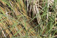 Pelophylax bedriagae, Altyn Emel National Park
