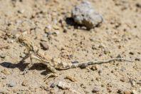 Phrynocephalus guttatus, Aktau, Altyn Emel National Park