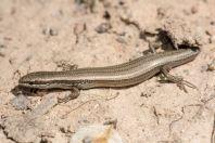 Ablepharus desertii, Maylısuu