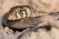 Pseudopus apodus, between Masadan and Boston