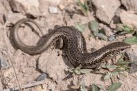Asymblepharus alaicus alaicus, Kara-Kavak