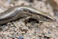 Asymblepharus alaicus, Daroot-Korgon