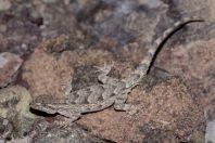 Mediodactylus russowii, Taşkomur