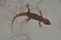 Hemidactylus turcicus v osadě Tigaki
