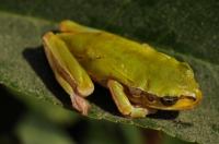 Hyla orientalis - Tigaki