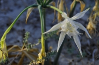 Písečná lilie Pancratium maritimum