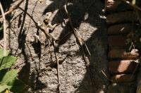 Laudakia stellion, Kos town
