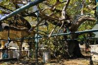 Hippocrates tree, Kos