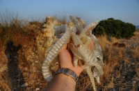 Dolichophis jugularis, Kós