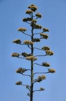 Kvetoucí Agave