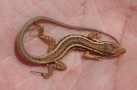 Juvenilní Ophisops elegans