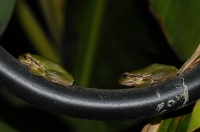 Hyla orientalis v Tigaki
